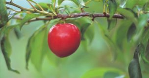 13938-ts cherry branch limb tree fruit main.800w.tn